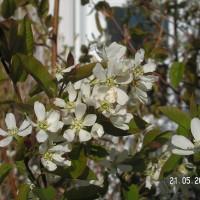 Fleur blanche d'amélanchier Isaac qui produira des amélanches.