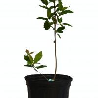 Plant d'amélanchier Isaac en format 2 gallons en vente dans notre boutique.
