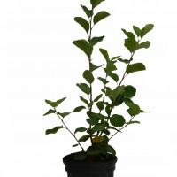 Plant d'amélanchier Thiessen en format 1 gallon en vente dans notre boutique.