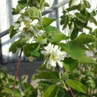 Fleur d'amélanche blanche qui produira des fruits d'amélanches.