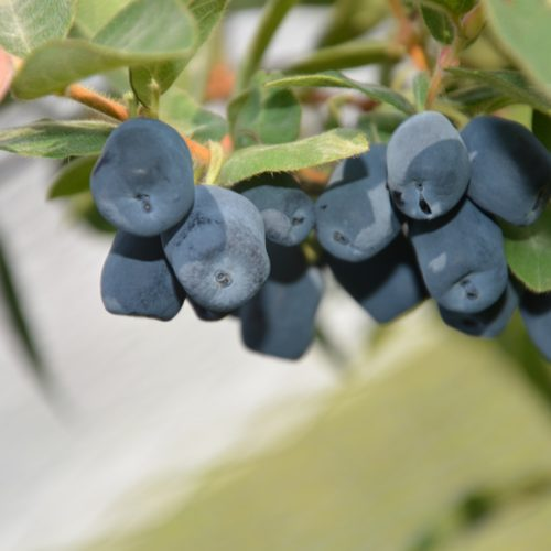 Fruit de camerisier boréalis.