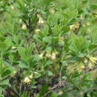 Camerisier-Borealis---2