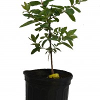 Camerisier-Borealis-2-gallons-3-1