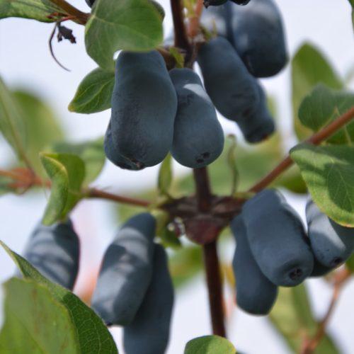 Fruit de camerise Lazurnaya long et sucré.