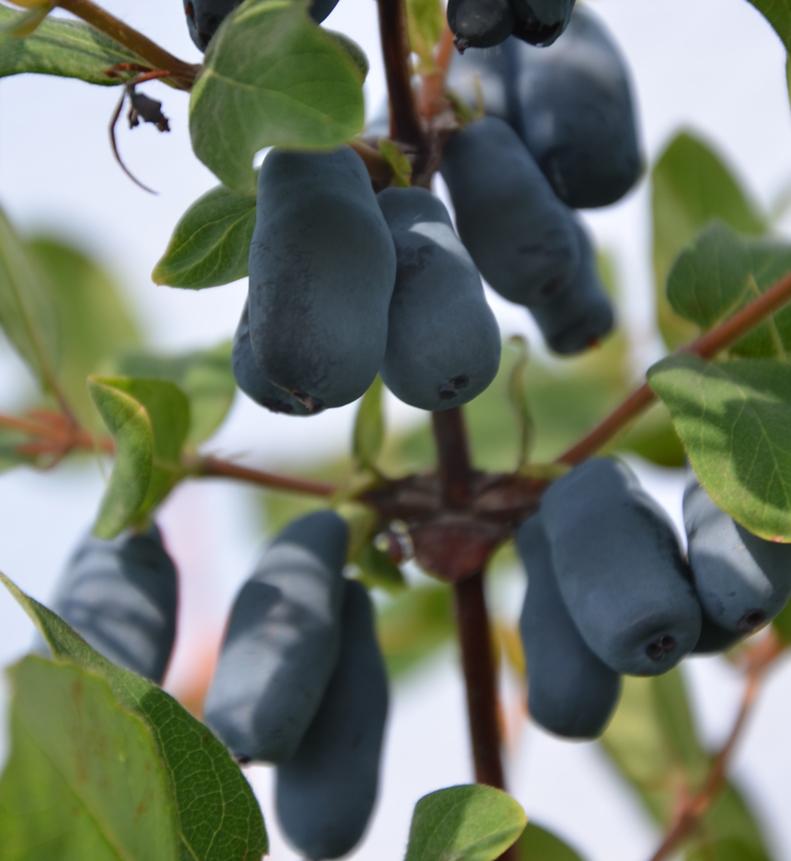 lazurnaya camerisier terra boreal vente d 39 arbuste fruitier ligneterra bor al vente d. Black Bedroom Furniture Sets. Home Design Ideas
