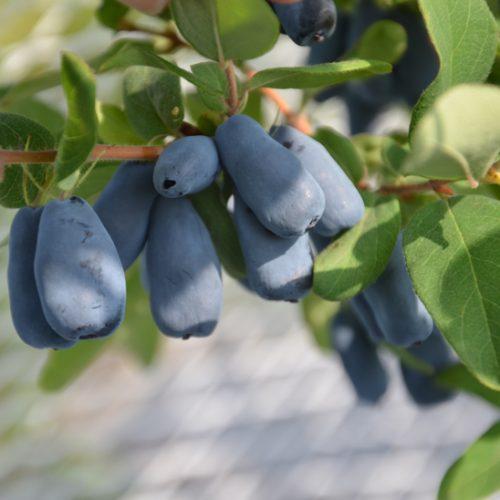 Fruit de camerisier Zolushka produisant des camerises bleues.