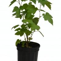 Plant de cassissier Ben Sarek en format 1 gallon en vente dans notre boutique en ligne.