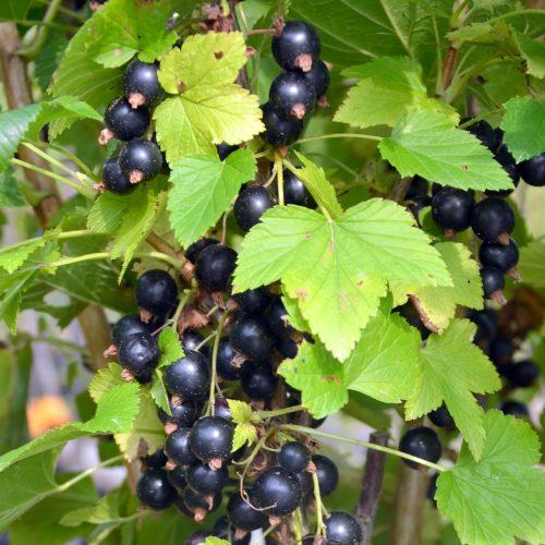 Cassisses noir de la variété Ben Sarek, prêt à être récolté.