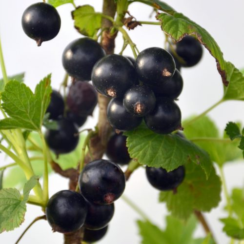 Fruit de cassisse noir de la variété Titania prêt à être récolté.