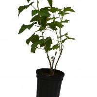 Plant de cassissier en format 1 gallon de variété Titania.