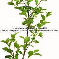 Cerisier Roméo -3