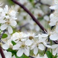Fleur de cerisier Crimson Passion. Fleur blanche en abondance.
