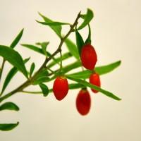 Fruit d'un plant de goji dynamite.
