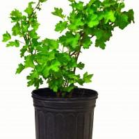 Plant de groseillier Black Velvet en format 1 gallon. En vente dans notre boutique.