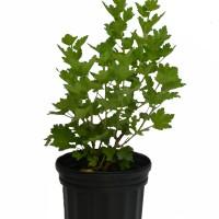Plant de groseillier Jahns Prairie en format 1 gallon en vente dans notre boutique.