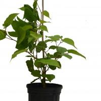 Plant de kiwi pascha en format 1 gallon en vente dans notre boutique
