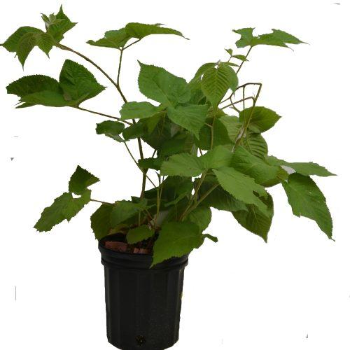 plant de mûrier Hardy Black en format 1 gallon en vente dans notre boutique.