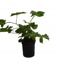 Plant de mûrier Illini Hardy en format 1 gallon en vente dans notre boutique en ligne.