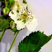 Fleur de mûrier Illini hardy.