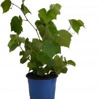 Plant de vigne de raisin de table de la variété Somerset. Produit en format 1 gallon en vente dans la boutique. Le plant produit des raisins rouges.