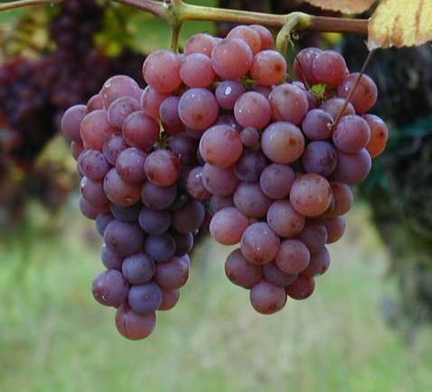 Vigne de raisin de table rouge de la variété somerset.