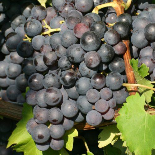 Vigne de raisin de table bleu de la variété Trollhaugen.