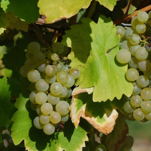 Vigne-Vandal-Cliche---1