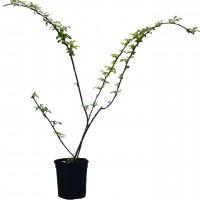 Plant de framboisier Jewel en vente dans notre boutique. Produit des framboises noires.