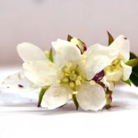 Fleur d'amélanchier JB-30. Fleur blanche qui produira un amélanche.