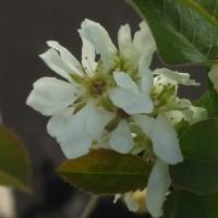 Fleur d'amélanchier Honey Wood. Fleur blanche.