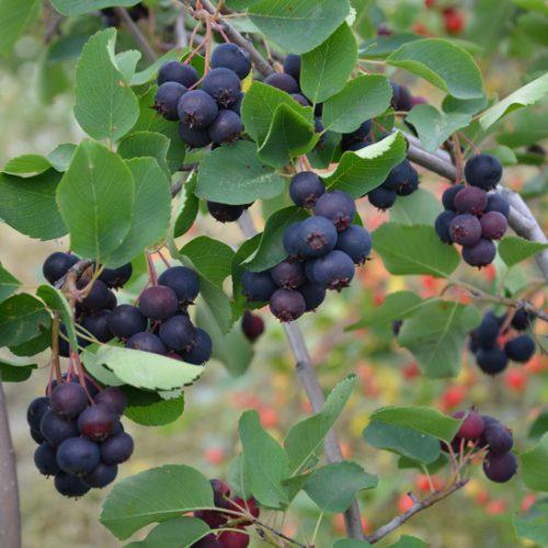 Fruit d'amélanche de la variété JB-30. Fruit sucré. Amélanchier
