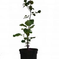 Plant d'amélanchier Northline en format 1 gallon.