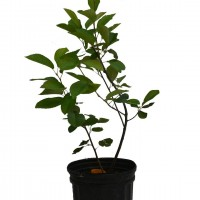 Plant d'amélanchier HoneyWood en format 1 gallon en vente dans notre boutique.
