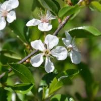 Fleur de cerisier SK Carmine Jewel.