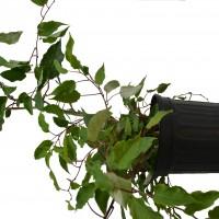 Plant de kiwi Michigan State en format 2 gallons en vente dans la boutique.