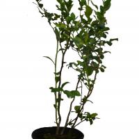 Plant de bleuetier Nelson en format 2 gallon en vente dans notre boutique.