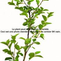 Plant de cerisier SK en format 1gallon en vente dans notre boutique.