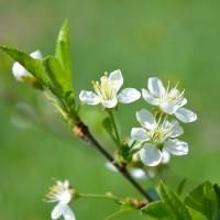 Fleur de cerisier Cupid (Big Late) ouverte. Fleur blanche.