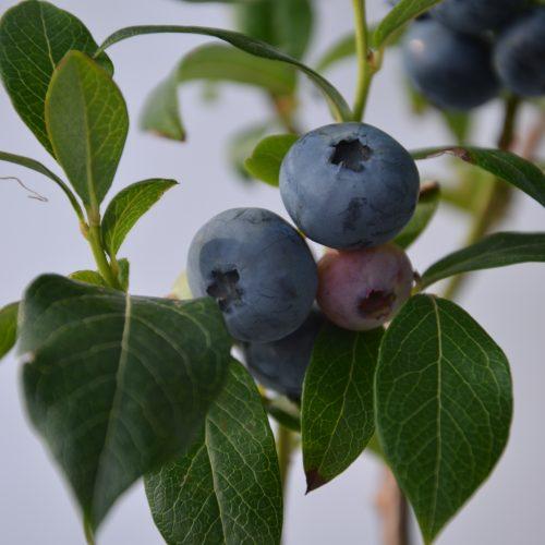 Bleuet Nelson, fruit sucré.