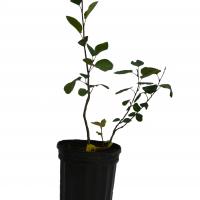 Plant d'amélanchier Smokey en format 1 gallon vendue dans la boutique.