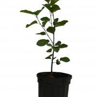 Plant à vendre d'amélanchier Trappiste en format 1 gallon