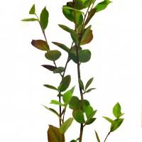 Plant d'aronie (aronia) McKenzie en format 1 gallon à vendre dans la boutique en ligne.