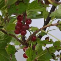 Fruit du gadelier Red Lake prêt.