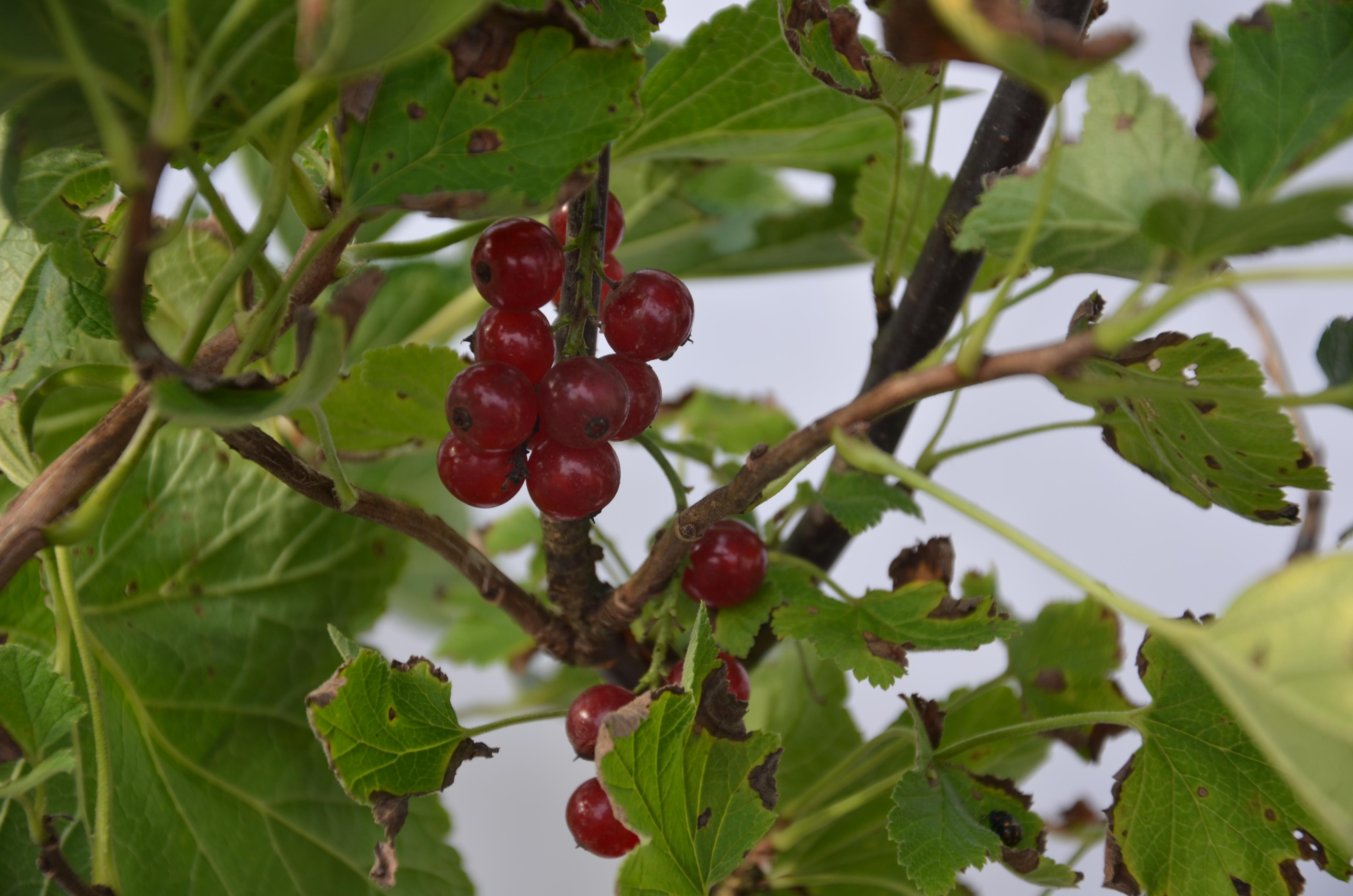 red lake gadelier terra bor al vente d 39 arbustes fruitiersterra bor al vente d 39 arbustes. Black Bedroom Furniture Sets. Home Design Ideas