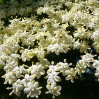 Plant de sureau en fleur.