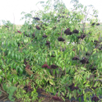 Plant de sureau en production de la variété York