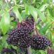 Fruit de sureau de la variété York prêt à la récolte.