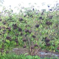 Plant de sureau scotia en production bien rempli de fruit.