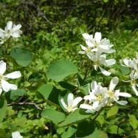 Fleur d'amélanchier Smoky, fleur blanche qui produit des amélanches sucrés.