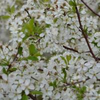 Plant de cerisier SK en pleine floraison. Fleur blanche.